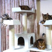 ベンガル猫の見学については随時受け付けております。