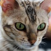 全国手配が可能です。東北、関東、九州、四国、北海道などまずはご相談くださいませ。永久サポートで、先住猫との相性や飼育の相談、仔猫の飼育方法など、しっかりサポートさせていただきます。