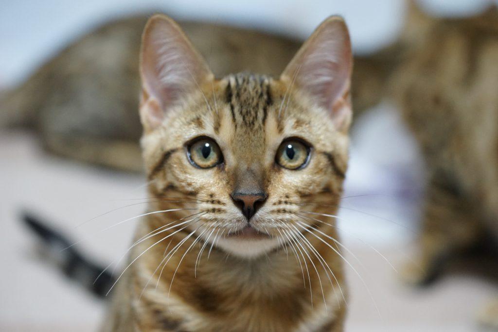 ベンガル仔猫